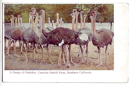 1906 Flock of Ostriches at Cawston Farms M. Reider Fine Used